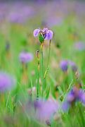 Wild Iris in focus with surrounding Irises Blurred, Alaska