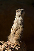 Suricata suricatta meerkat, inhabit portions of South Africa, Botswana, Zimbabwe and Mozambique, extending from the south west arid biotic zone and eastward into neighboring southern savanna and grassland areas