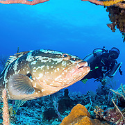Marine Biologist Alannah Vellacott takes a moment to film an adult Nassau grouper while doing coral surveys. Marine parks, like this one in The Exuma Cays, give heavily fished species a chance to live out their lifecycle.