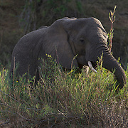 African elephant along feeding along the banks of the Sand River. MalaMala Game Reserve. South Africa.