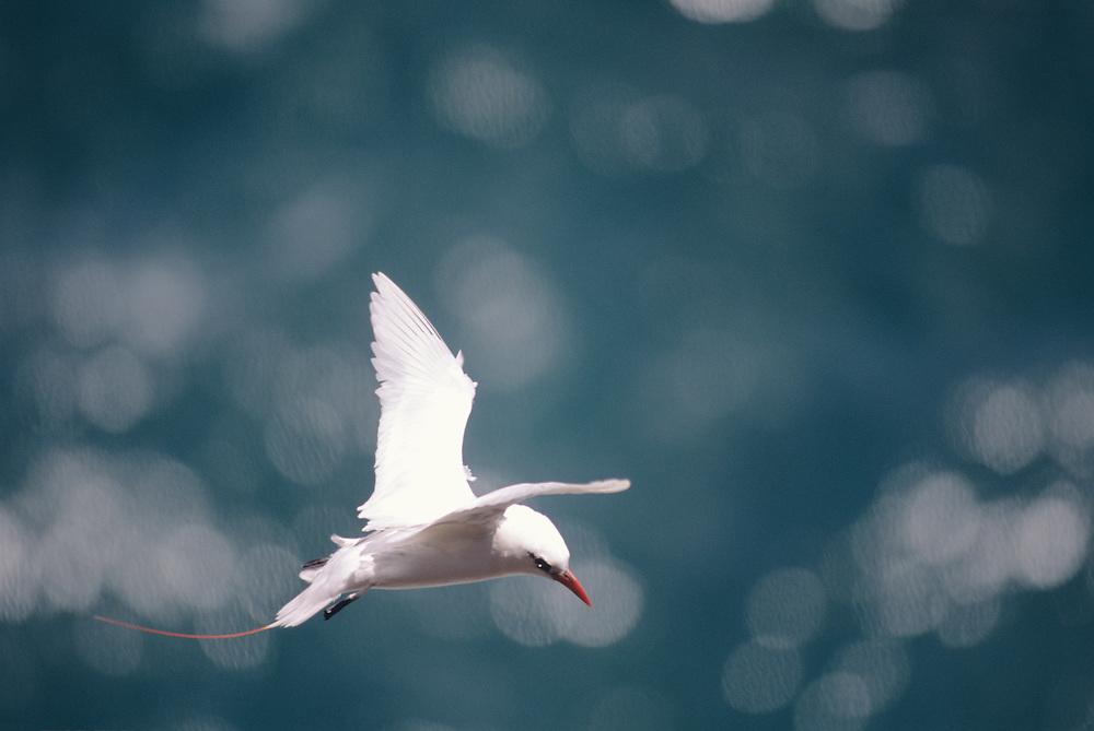 Hawaii, Kauai, Kilauea National Wildlife Refuge, Red Tailed Tropic Sea Bird