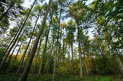 Leygroves Wood; next to the M40 in Oxfordshire,This area is mixed conifer including larch, UK