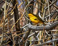 Yellow Warbler (Setophaga petechia). Alamosa National Wildlife Refuge, Colorado. Image taken with a Nikon D300  camera and 80-400 mm VR lens