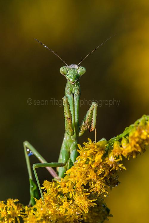 Praying Mantis, Great Trinity Forest near Trinity River, Dallas, Texas, USA.