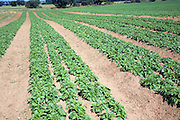 Rows of potatoes in field, Sutton, Suffolk, England