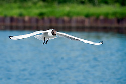 A gull flies in over the lake close to Parkgate Shopping Centre in the centre of Rotherham.<br /> 29  May 2012.<br /> Image © Paul David Drabble