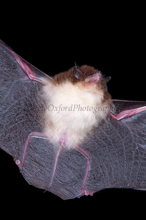 Sucker-footed bat (Thryoptera tricolor) CAPTIVE<br /> Yasuni National Park, Amazon Rainforest<br /> ECUADOR. South America<br /> HABITAT & RANGE: Tropical forest of Central and South America and Atlantic forest of Brazil