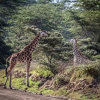 Giraffe at Lake Nakuru, Kenya