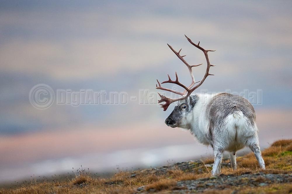 During a visit in Longyearbyen, Spitzbergen September 2013, I found this Reindeer in Adventsdalen. Since it stopped to pee, it seems like it did not payed too much attention to me | Jeg tok dette bildet av Svalbardrein i Adventsdalen, Longyearbyen under et besøk på Svalbard September 2013. Siden den tok seg tid til å stoppe for å tisse, så virker det som den ikke brydde seg så mye om meg.