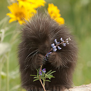 Porcupine (Erethizon dorsatum) baby in a meadow during springtime. Captive Animal