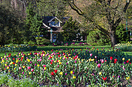Spring tulips in the Stanley Park Rose Garden flower beds in front of the Rose Garden Cottage (built in 1914) at Stanley Park, Vancouver, British Columbia, Canada