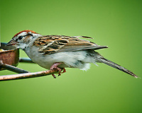Chipping Sparrow. Image taken with a Nikon D850 camera and 600 mm f/4 VR lens and 2.0x TCE-III teleconverter.