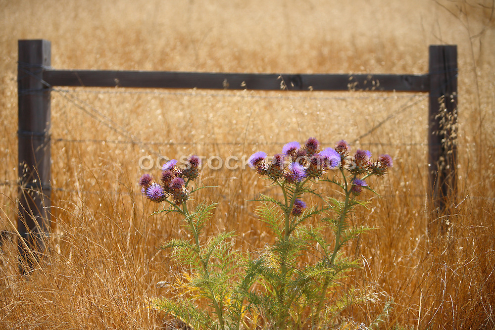 Thistle in a Field