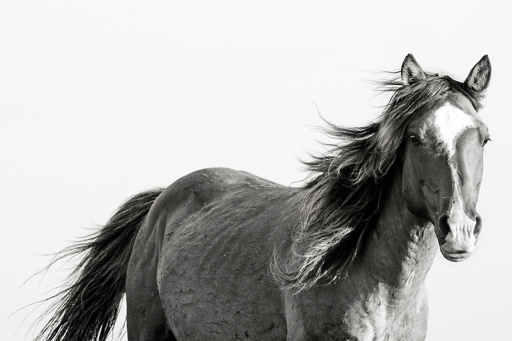 """""""Courage is being scared to death... and saddling up anyway"""" ~ John Wayne<br /> <br /> Tracie Spence's new Fine Art series of the Spanish Wild Mustangs 'Grace Under Pressure'"""