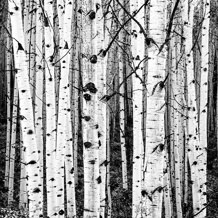 Aspens along Kebler Pass - near Crested Butte, Colorado.<br /> <br /> 12x12 inch square prints(8x8 inch photo) printed on Kodak Endura paper (lustre only)
