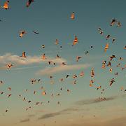 White ibis (Eudocimus albus) flock returning to their rookery near Boca Grande, Florida.