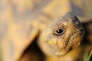 Greek land tortoise, Testudo graeca, Lake Kerkini, Macedonia, Greece