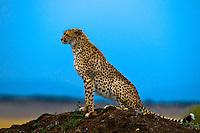 Cheetah on mound, Masai Mara National Reserve, Kenya
