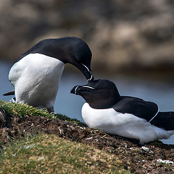 Torda-Mergulheira (Alca torda) fotografado na Escócia, na Europa. Registro feito em 2019.<br /> ⠀<br /> ⠀<br /> <br /> <br /> <br /> <br /> <br /> <br /> ENGLISH: Razorbill photographed in Scotland, in Europe. Picture made in 2019.