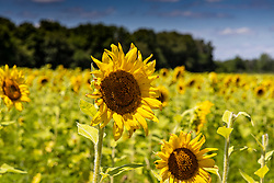Sunflowers blooming in Matthiessen State Park