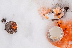 Broken Gentoo Penguin Eggs, Neko Harbor, Antarctica