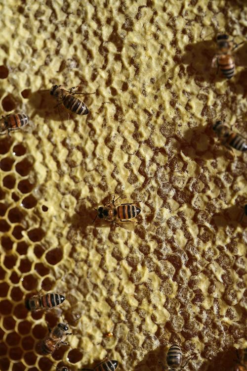 A close up of bees on a frame of honeycomb in a beehive. <br /> <br /> CIPAC, Cooperativa Integral de Producción Apicultores de Cuilco, is a Fairtrade-certified honey-producing organisation in Cuilco, Huehuetenango, Guatemala.