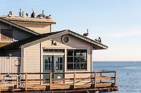 United States, California, Santa Barbara. Brown Pelicans on Stearns Wharf.