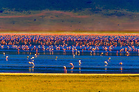 Flamingos on Lake Magadi, Ngorongoro Crater, Ngorongoro Conservation Area, Tanzania