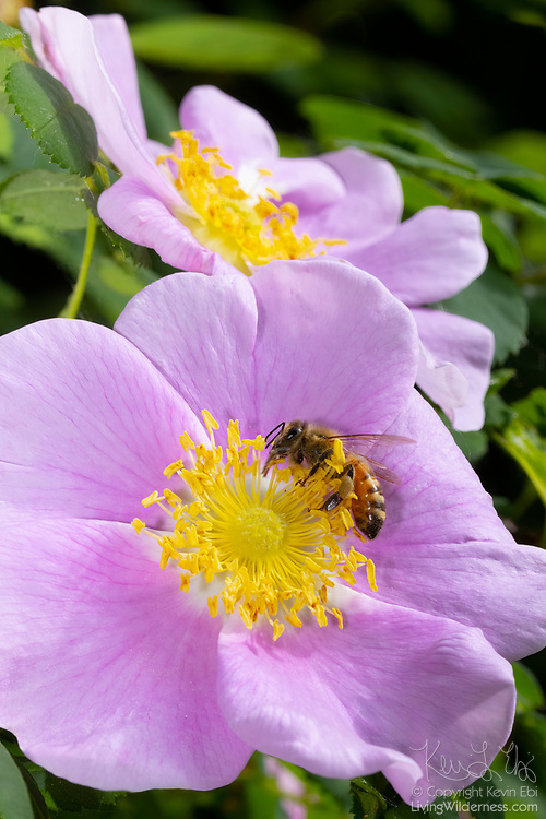 A honey bee collects pollen from the flower of a Nootka rose (Rosa nutkana) in Snohomish County, Washington. Pollen provides protient and other nutrients needed by bees. They also collect nectar, which provides energy, turning into honey as it dries out.