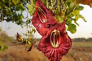 Impressionen aus dem Nsefu Sektor im South Luangwa Nationalpark von Sambia. Der Leberwurstbaum (Kigelia africana) ist eine Pflanzenart aus der Familie der Trompetenbaumgewächse (Bignoniaceae). Die Art ist die einzige in der monotypischen Gattung Kigelia. Der Baum stammt ursprünglich aus Westafrika, er ist heute aber in ganz Afrika verbreitet.