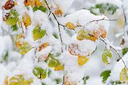 Frisch verschneite Herbstbäume bei einem Wintereinbruch im Oktober im Sihlwald. Der Sihlwald ist ein rund 12 km² grosses schweizerisches Naturschutzgebiet und gehört zum Wildnispark Zürich, seit dem 1. Januar 2009 ist er der erste, national anerkannte Naturerlebnispark der Schweiz.[1] Es liegt im Sihltal an der Ostflanke des Albis und liegt auf den Gemeindegebieten von Adliswil, Langnau am Albis, Horgen, Oberrieden ZH, Rüschlikon und Thalwil.