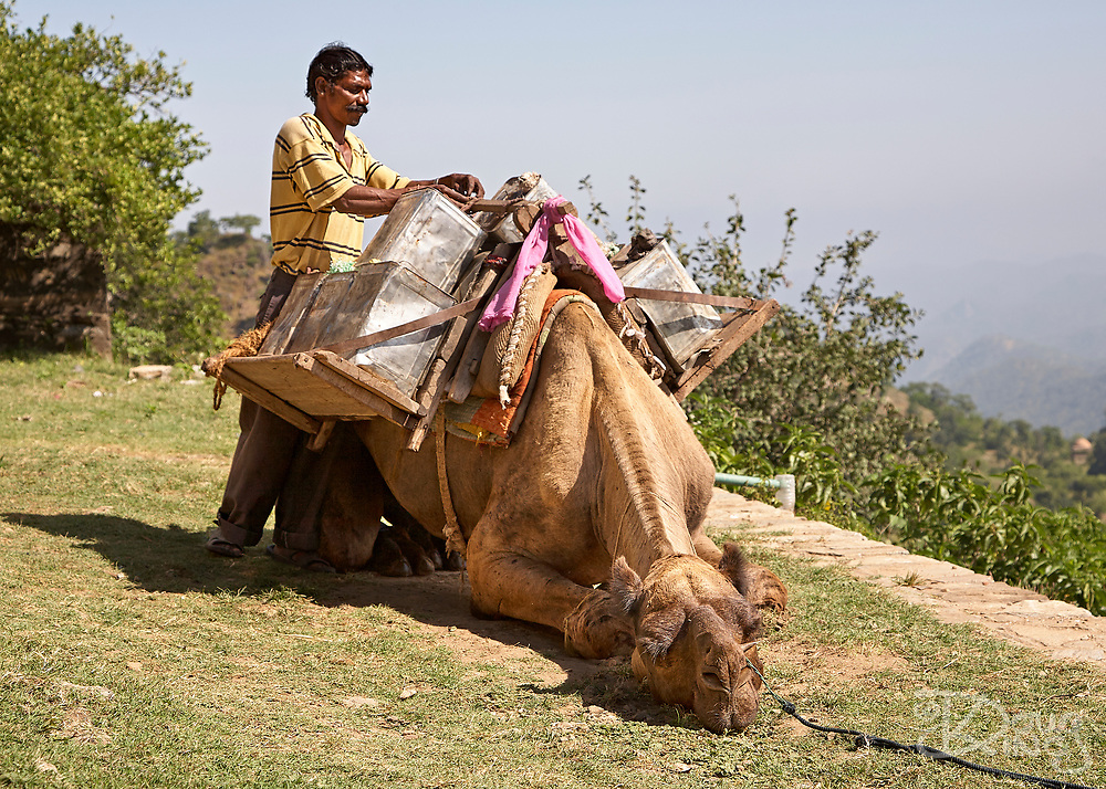 Indian man loads up his patiently waiting camel with goods destined for market. Rajasthan, India