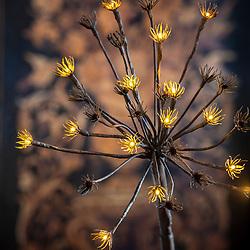 Hogweed lights