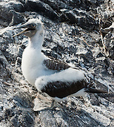 A young Nazca Booby (Sula granti) fledges new wings on Española (Hood) Island, the oldest of the Galapagos Islands, which are a province of Ecuador, South America. The Nazca Booby is found in the eastern Pacific Ocean, namely on the Galápagos Islands and Clipperton Island. The Revillagigedo Islands off Baja California possibly constitute its northeasternmost limit of breeding range. It was formerly regarded as a subspecies of the Masked Booby but the Nazca Booby is now recognized as a separate species differing in ecology, morphology, and DNA. The Nazca Booby co-occurs with the Masked Booby on Clipperton Island, where they may rarely hybridize.  Two eggs are laid so that one remains insurance in case the other gets destroyed or eaten, or the chick dies soon after hatching, which often occurs as one chick out-competes the other.