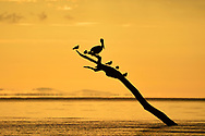 Brown pelican (Pelecanus occidentalis) and Royal Terns (Sterna maxima) at sunrise resting on a branch rising out of the waters of Golfo Dulce, Costa Rica.