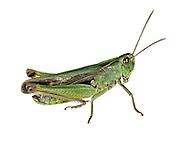 Common Green Grasshopper male - Omocestis viridulus