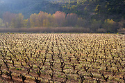 Vines that have been heavily trimmed back stand in summer sunshine in the valley of Lagrasse in the Corbieres areas of southern France