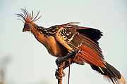 Hoatzin (Opisthocomus hoazin)<br /> Savannah, Rupununi<br /> GUYANA<br /> South America<br /> HABITAT & RANGE: Swamps, riverine forest and mangrove of the Amazon and the Orinoco delta in South America.