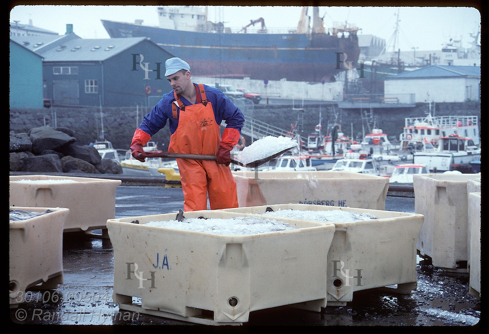 Man shovels ice into bins of cod freshly loaded off fishing boat on the docks of Reykjavik. Iceland