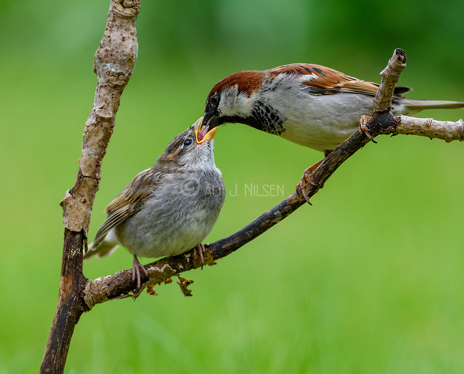 Male house sparrow (Passer domesticus) feeding a large chick.  South-western Norway in mid May.