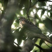 A juvenile Shikra hawk (Accipiter badius) om a Mango tree in north Goa