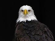eagle bald bird