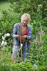 Carol Klein staking Aster laevis 'Calliope' with a cane