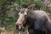 Alaskan moose in autumn