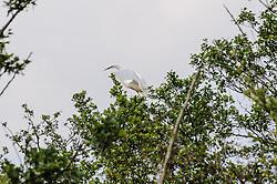 grote zilverreiger (Ardea alba