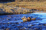 Bison (buffalo) skull in stream.