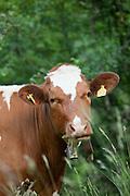 A cow in the countryside near Col de la Faucille, Jura region, France