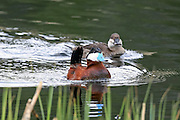 Ruddy Ducks, Mating Behavior