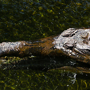 Images of captive alligators and crocodiles from Alligator Adventure in Myrtle Beach, S.C. Images of captive alligators and crocodiles from Alligator Adventure in Myrtle Beach, S.C.