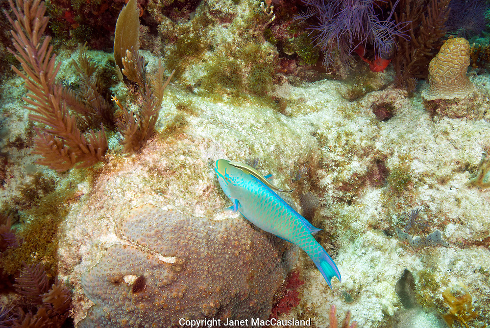 A small Sharksucker or Remora (Echeneis naucrates) has attached to a Queen Parrotfish (Scarus vetula) at a dive site called North-North Dry Rocks in the Florida Keys. The Parrotfish is native to southern Florida and the Caribbean, but the Remoras are Circumtropical.